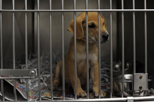 A puppy, one of many, awaits a forever home at the Shelby Humane Society's shelter in Columbiana.