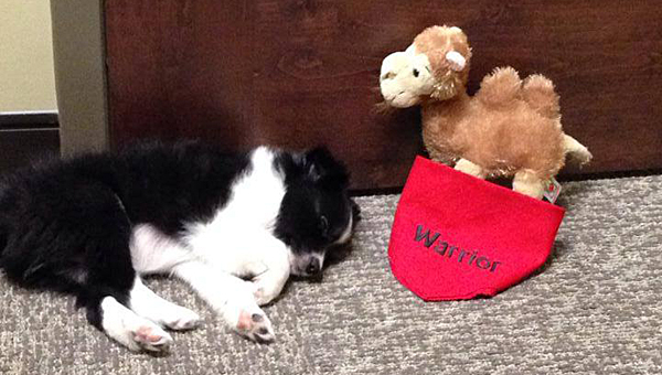 Alabaster City Schools' puppy, Warrior, takes a nap after celebrating hump day at the ACS central office on Oct. 23. (Contributed)