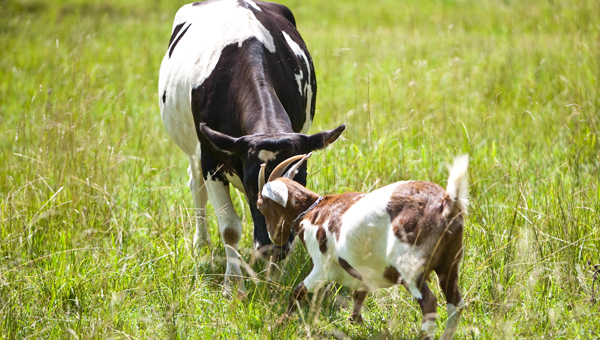 Molly, a cow who befriended a goat and lives in a pasture on Shelby County 26, died Dec. 8. (File)