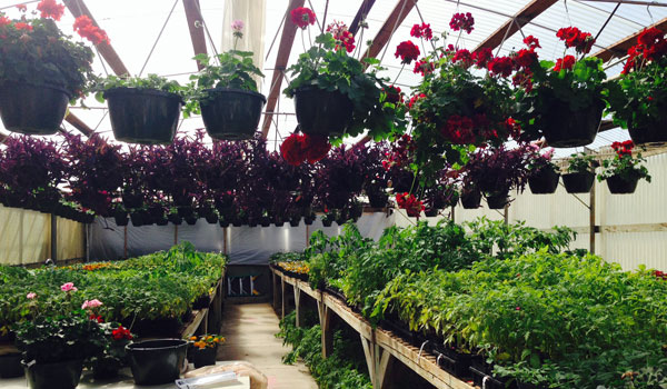Geraniums, tomatoes, ferns and bell peppers are just a few of the plants available for purchase at the Shelby County College and Career Center annual plant sale (Ginny Cooper/For the Reporter)