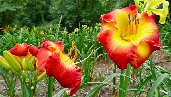 Dancing Daylily Garden in Helena has more than 15 flowerbeds and 1,400 varieties of daylilies. (Reporter Photo / Molly Davidson)