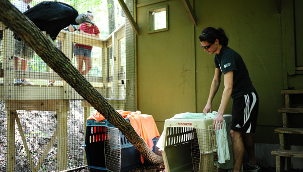 Ollie the black vulture watches as his buddy is released into their new home at Treetop Nature Trail. (Reporter Photo / Jon Goering)