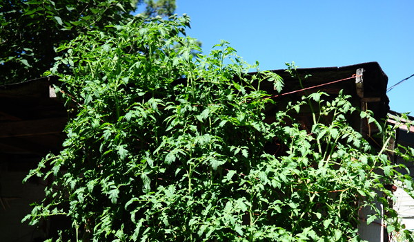 Flora Vining's tomato plants have grown past the top of her house. (Reporter Photo / Jon Goering)