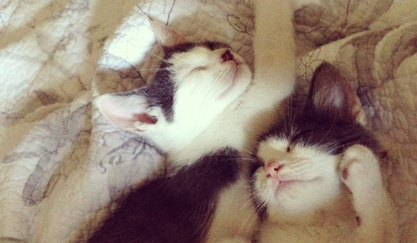 Lilac and Linus, finalists in The Friskies 2014 challenge, snuggle on the bed (Contributed)