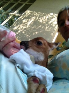Ahrian Dudley bottle feeds an injured baby deer found by the family's dog, Desmond. (Contributed)