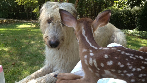 Desmond the dog keeps watch over a baby deer he helped to rescue at his family's home off Cahaba Valley Road. (Contributed)