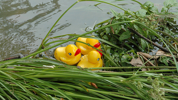 The Thompson soccer boosters are hosting a duck race to raise money for the TMS and THS soccer teams on Dec. 13. (File)
