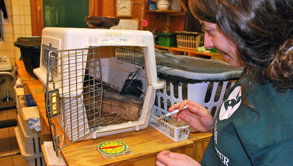 Liana Dinunzio feeds for two baby pileated woodpeckers, just a couple of the more than 160 baby birds the AWC is caring for right now. (Reporter Photo / Molly Davidson)