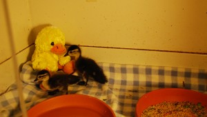 These orphaned ducklings are just two of the more than 100 baby bird patients at the AWC. (Reporter Photo / Molly Davidson)