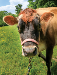 Poppy the cow is one of two dairy cows that provide  milk to create Steel City Pops' caramel pops.