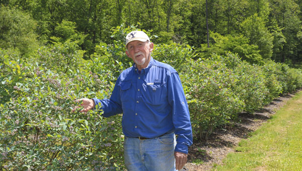 """Jim """"Buster"""" Suttle displays blueberries that will be available soon for U-Pick customers at Mountain Meadows Farm in Columbiana. (For the Reporter/Dawn Harrison)"""