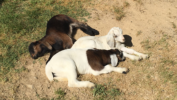 The Oak Mountain State Park petting zoo recently welcomed several baby goats. (Contributed)