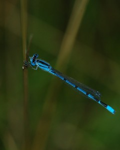 Dragonflies and damselflies, such as the Familiar Bluet, can be spotted in Oak Mountain State Park. (Contributed)
