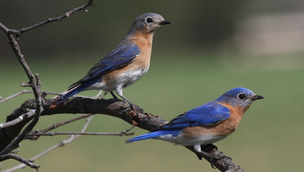 Eastern bluebirds abound at Oak Mountain State Park and have experienced a population increase of 2 percent per year because of conservation efforts. (Contributed)