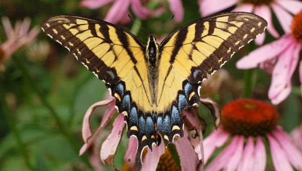 The Eastern Tiger Swallowtail is a yellow and black butterfly that can be found along Terrace Drive and John Findley Drive in Oak Mountain State Park. (Contributed)