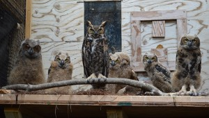 : After these baby great horned owls were well enough, AWC staff members moved them to an outdoor pen where they are continuing the rehabilitation process.