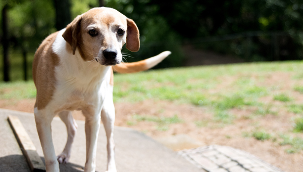 Peaches is one of more than 40 dogs awaiting adoption at 2nd Chance Animal Sanctuary in Blount County. (Reporter Photo/Keith McCoy)