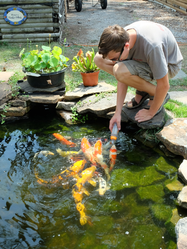 Noah Yawn is a caretaker for the koi pond at Myers Nursery & Pottery. At feeding time, he demonstrated putting food pellets into a baby bottle and the ensuing excitement that reigns as they all swarm and thrash to get their share. (Contributed)