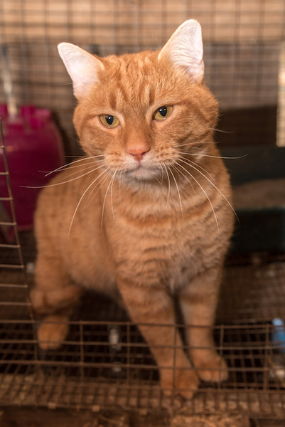Dexter is a young cat in need of a permanent home. 2nd Chance owner Sandra Shaffer nursed him back to health after he showed up at her barn this summer. (Reporter Photo/Keith McCoy)